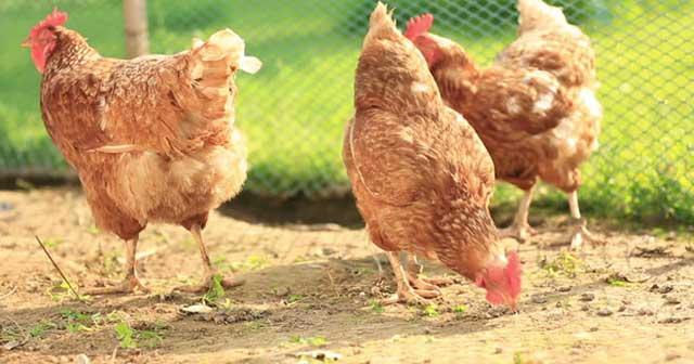 Tả con gà mái nhà em - Hình