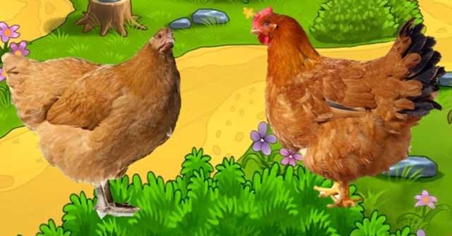 Tả con gà mái nhà em - Hình 3