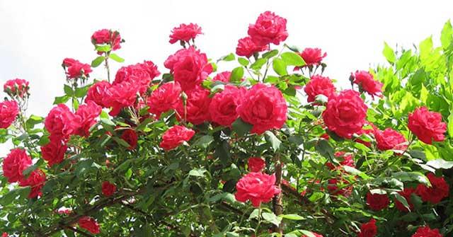 Tả cây hoa hồng mà em yêu thích