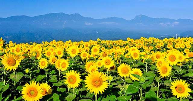 Bài văn mẫu miêu tả cây hoa hướng dương hay nhất