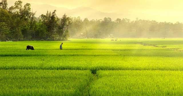 Cảnh cánh đồng lúa chín tuyệt đẹp
